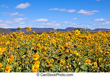 Field of yellow wild flowers in the Karoo