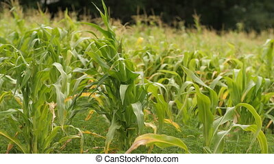 Field of young corn - Green field of young corn