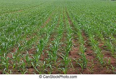 Field of young corn plants