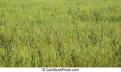 Field of young oats in evening at sunset