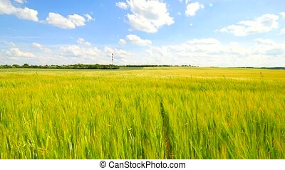 Field of young ripening barley plants at middle of June. Young yellow green barley blowing in the wind.