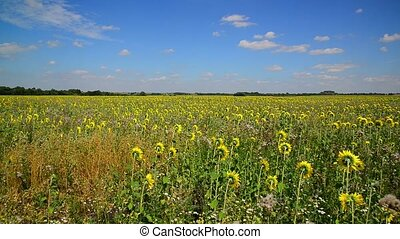 Field of young sunflower with weeds - field of young...