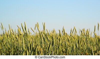 Field of young wheat Close-up on sunset