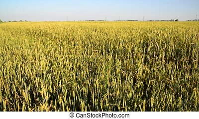 Field of young wheat on sunset