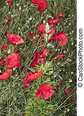 field poppies, beautiful flowers