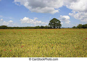 field poppies in wheat