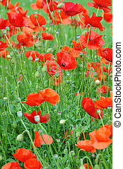 FIELD POPPIES RED