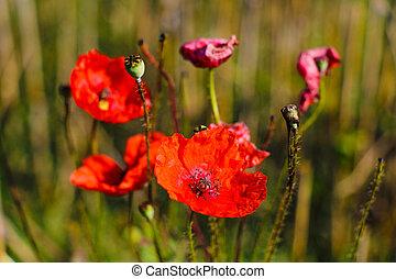 field., poppies., rhoeas, papaver, maíz
