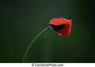 field poppy flower in the rain