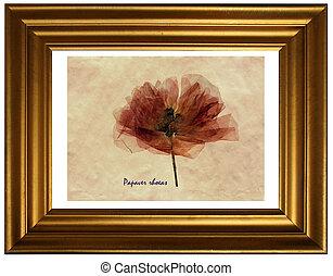 Field poppy in herbarium - Herbarium from pressed and dried ...