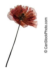 Field poppy in herbarium - Pressed and dried flower of field...