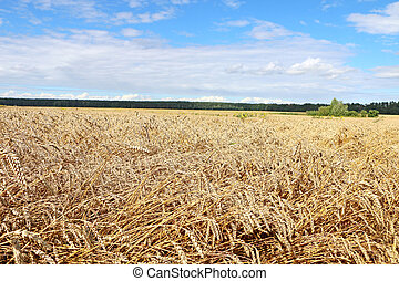 field ready for harvest,
