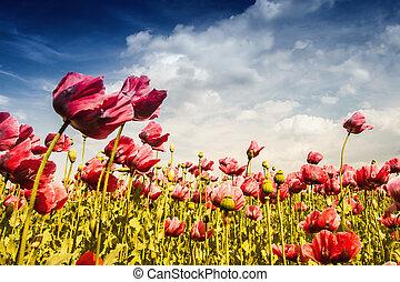 Field Red Poppy on Meadow