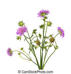 Field Scabious Flower isolated on white background. Knautia arvensis. Beautiful blooming bouquet.
