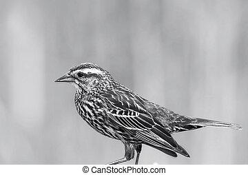 Field Sparrow bird on the fence