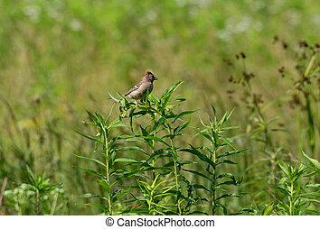 Field Sparrow on a Plant