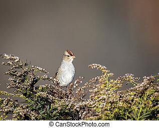 Field Sparrow on Bush