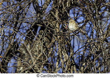 Field Sparrow perched