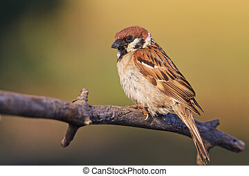 field sparrow sits on the branches in the rays of the sun