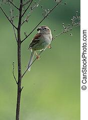 Field Sparrow With Spider in Beak