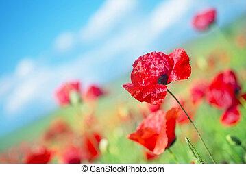 field - poppy field and blue sky in Crimea