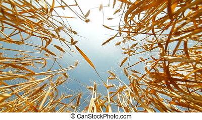 Field Under Wheat