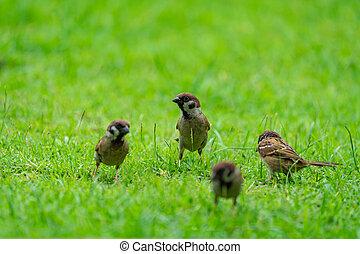 field., verde, pardal