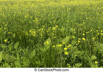 Field Wild Buttercups and Ferns