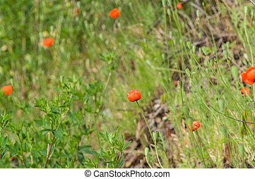 Field wild poppy