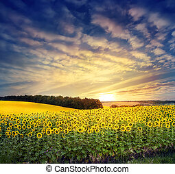 Field with a bright yellow sunflower