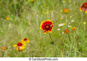 Field with beautiful Indian blanket flowers at summer season