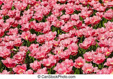 Field with beautiful pink Dutch tulips
