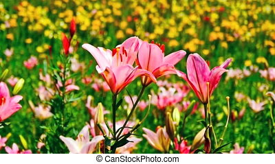 Field with blooming pink flowers
