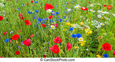 Field with blooming poppy's, cornflowers and daisies