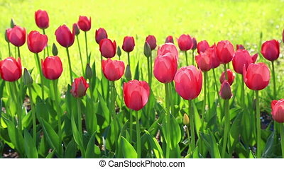 Field with blossoming pink tulips