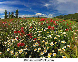 Field with bright red poppies and chamomile.