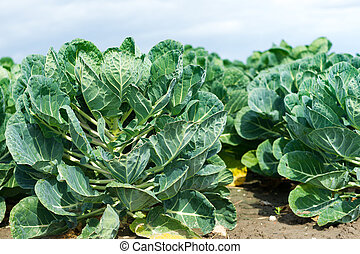 Field with brussels sprout