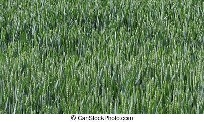 Field with cereals. Field of young green wheat. Spring...