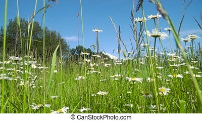Field with chamomiles. - White camomiles on the field in a...