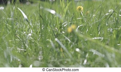 Field with dandelions and a laptop in the grass