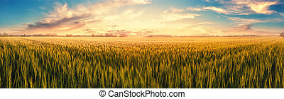 Field with ears of wheat at sunset