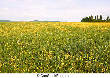 Field with flowering rapeseed and barley