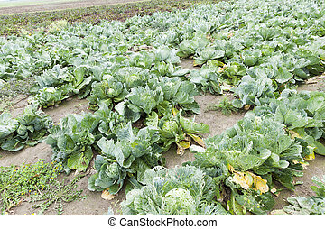 field with green cabbage