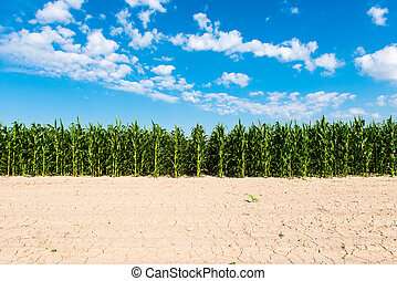 field with green corn on a sunny day