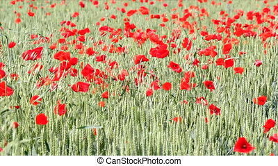 field with green wheat and poppy