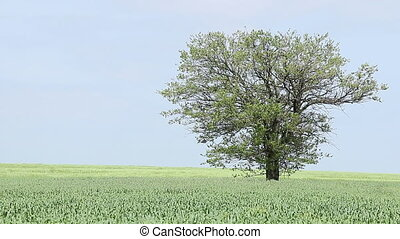 field with green wheat and tree