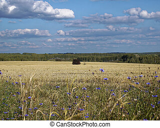 Field with harvested wheat