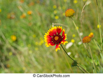 Field with Indian blanket flowers among native herbs at summer season in Ukraine