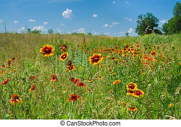 Field with Indian blanket flowers at summer season