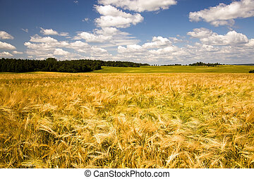 Field with oats